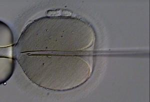 Fertilización in vitro de un óvulo humano. Imagen de Eugene Ermolovich (CRMI) / Wikipedia.