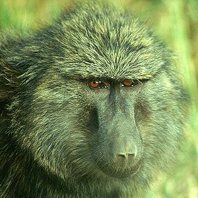 Un babuino en la reserva nacional de Masai Mara, en Kenya. Imagen de Javier Yanes.