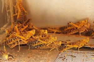 Langostas del desierto en el insectario del ICIPE (Nairobi, Kenya). Imagen de ICIPE.