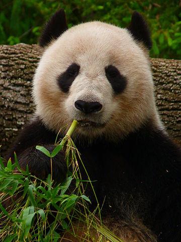 El panda gigante Wang Wang, del zoo de Adelaida (Australia), comiendo bambú. Imagen de Manyman / Wikipedia.