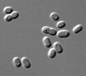 Cianobacterias actuales del género 'Synechococcus'. Imagen de Masur / Wikipedia.