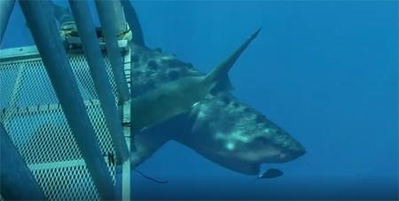 Videomontaje de una cría de megalodón pasando ante la cámara de unos submarinistas. Discovery Channel.