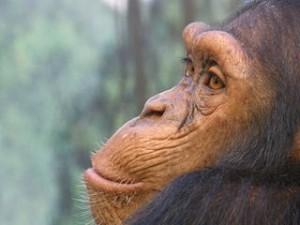 Chimpancé ('Pan troglodytes'). Imagen de Frank Wouters / Wikipedia.