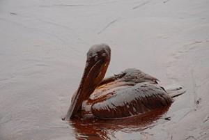 Química orgánica: un pelícano afectado por el vertido de Deepwater Horizon en 2010. Imagen de Louisiana GOHSEP / Wikipedia.