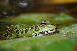 Una rana común en un estanque. Imagen de Javier Yanes.