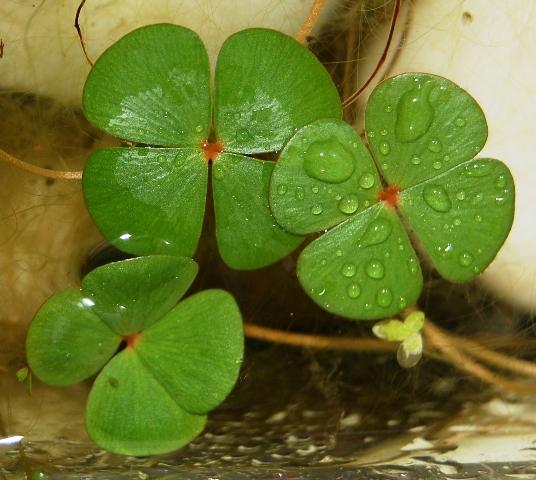 La mala suerte del tr bol de cuatro hojas la cr nica verde - Como ahuyentar la mala suerte ...