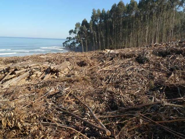 Eucalipto el rbol que amenaza a los bosques la cr nica - Informacion sobre el eucalipto ...