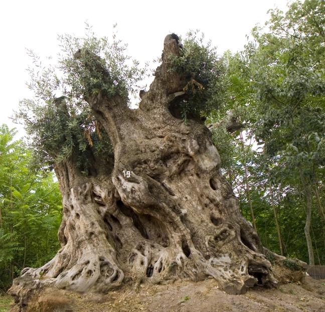 olivos en macetas. great bonsai olivo con maceta with olivos en