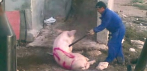 Brutalidad salvaje en una granja de cerdos murciana 6658_67131