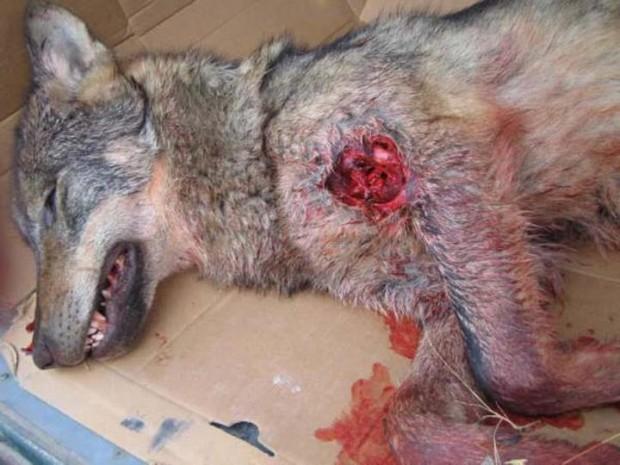Lobo muerto