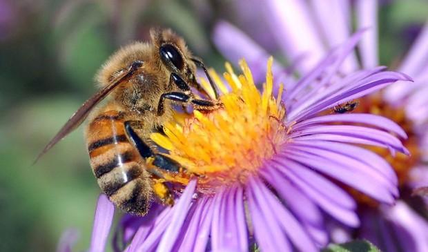 European_honey_bee_extracts_nectar