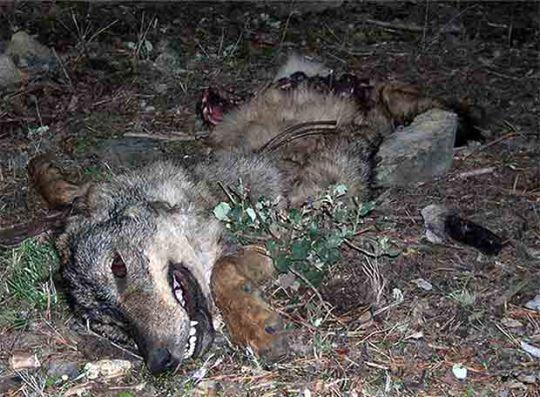 Así se mata a los lobos en España Lobo