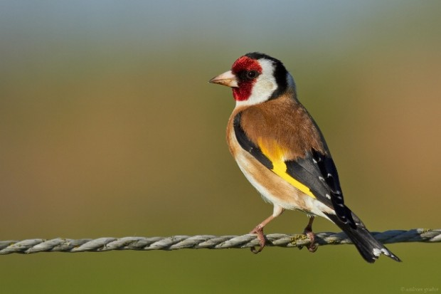 european-goldfinch