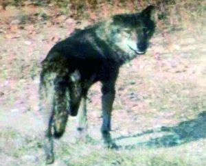 Lobo cojo