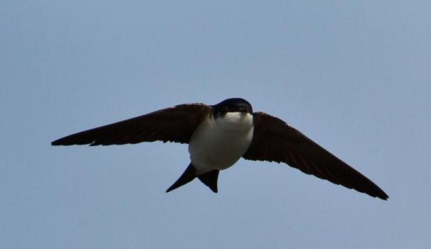 Delichon_urbicum_-Iceland_-flying-8_(1)