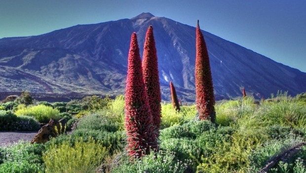 Echium_Wildpretii_at_The_Teide