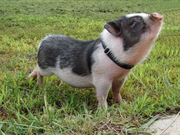 pot_bellied_pig