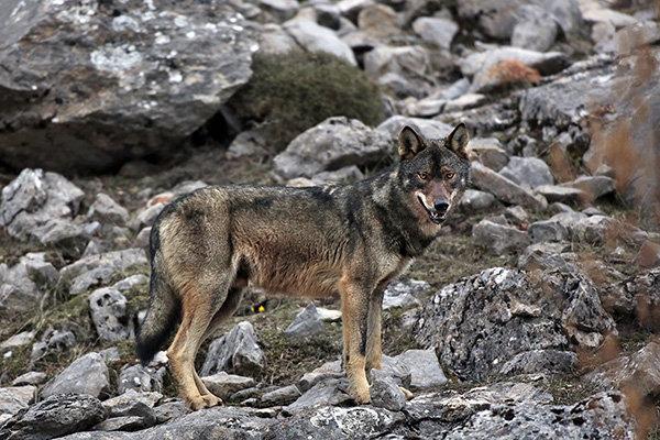 Durmiendo con lobos, Andoni Canela