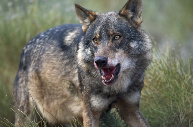 Iberian Wolf alpha male feeding on deer, its mouth tinted with fresh blood