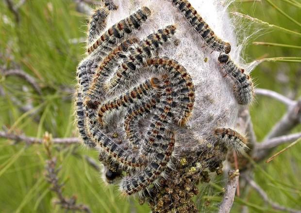 Thaumetopoea_pityocampa_larva