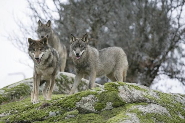 Canis_Lupus_Signatus