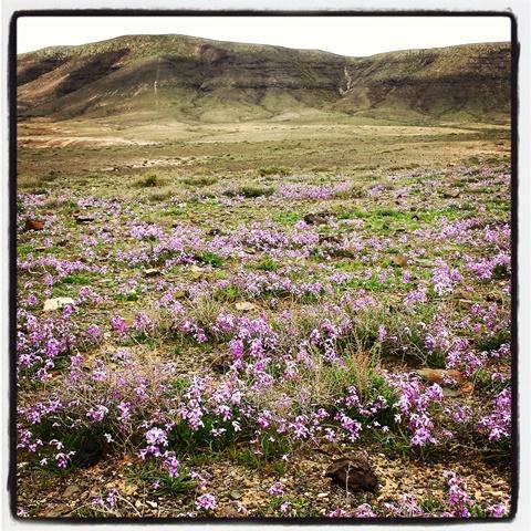 Flores Fuerteventura 2