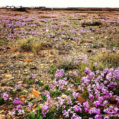 Flores Fuerteventura