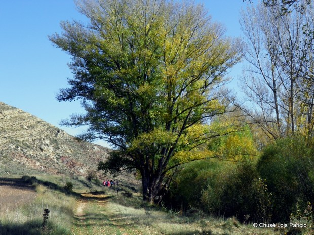 Chopo cabecero Teruel