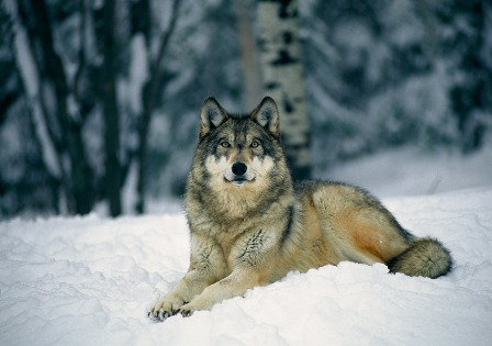 Olivia Summers Gray-wolf-snow-513254-lw