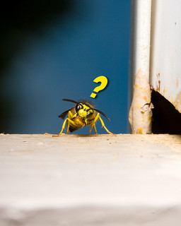 Hornet question_ Kratka Photography