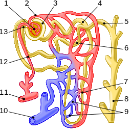 Nephron_illustration