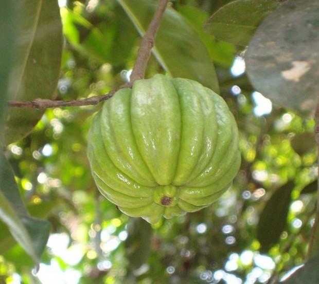 pastillas para bajar de peso garcinia cambogia efectos secundarios