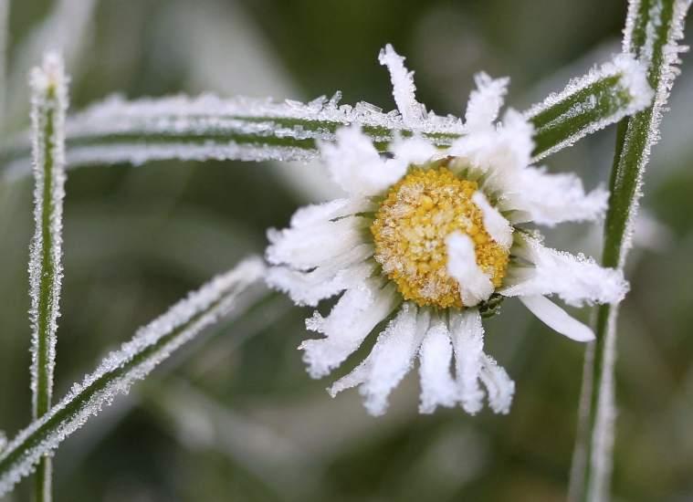 Flor con escarcha, beneficiosa en estos casos. (Roland Weihrauch / EFE)