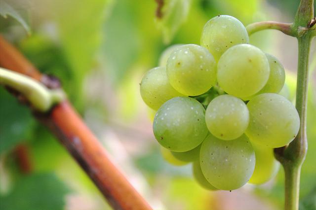 El clima influye en el azúcar y aroma de las uvas que se usan para el cava. Foto: tripb (Flickr, CC)