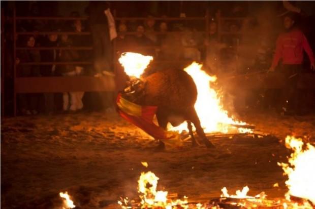Imagen del 'Toro de fuego' de Medinaceli, donde un Toro tiene que soportar cómo le prenden fuego a sus cuernos mientras sufre todo tipo de vejaciones. (PACMA)