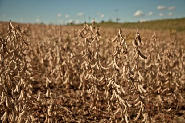 Cultivo de soja en Paraguay. Imagen de Pablo Tosco