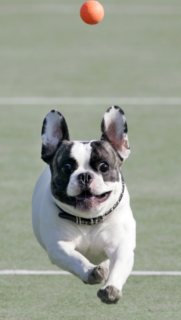 "UN PERRO DE LA RAZA BULLDOG FRANCES JUGANDO CON UNA PELOTA DURANTE EL WORLD DOG SHOW 2007 EN YOKOHAMA Koji Sasahara / AP Photo / © RADIALPRESS 24/11/2007 YOKOHAMA  *** Local Caption *** French Bulldog ""Annan"" chases a ball thrown by its owner to bring it back in Yokohama, near Tokyo during their performance in the Dog Olympics, World Dog Show Saturday, Nov. 24, 2007. (AP Photo/Koji Sasahara) © RADIALPRESS"