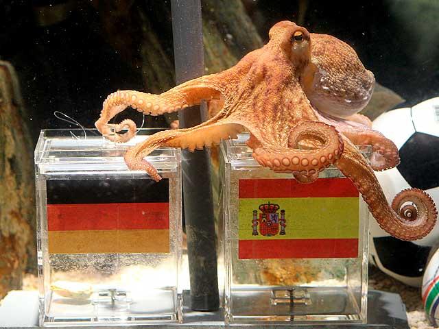 Paul, el pulpo del Zoo de Oberhausen, se decide por España en su vaticinio de las semifinales del Mundial (ARCHIVO 20MINUTOS).