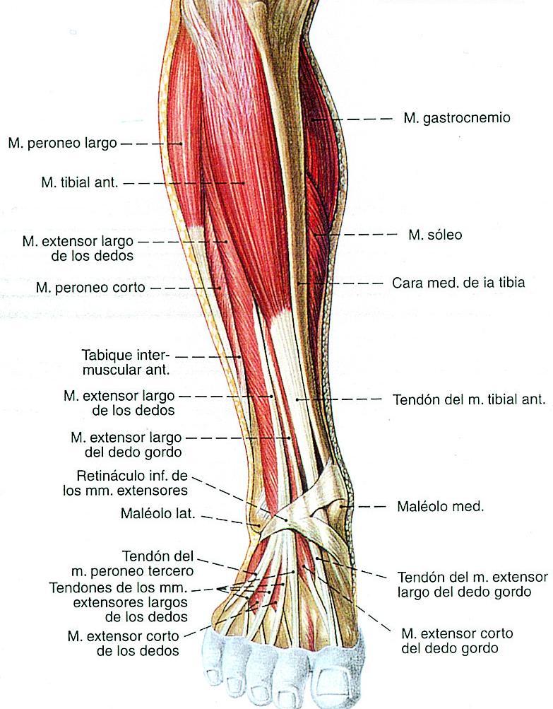 Bonito Diagrama De Músculo De La Pierna Ideas - Anatomía de Las ...