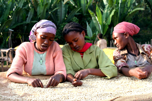 Women coffee farmers in ethiopia sort coffee beans to produce hi