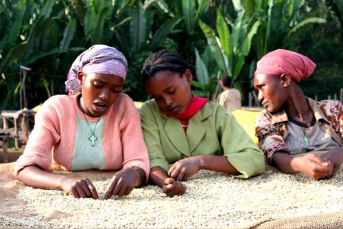 Women coffee farmers in ethiopia sort coffee beans to produce hi