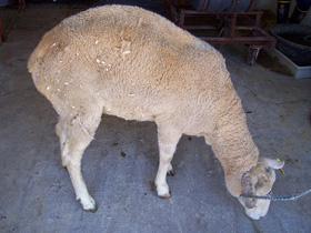 Una oveja afectada de 'scrapie'. Imagen de Wikipedia.