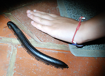 Un milpiés gigante africano, 'Archispirostreptus gigas'. Imagen de Javier Yanes.