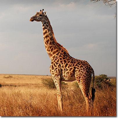 Jirafa masái en el Parque Nacional de Nairobi (Kenya). Imagen de Javier Yanes.