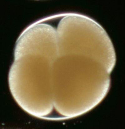 Un embrión de cuatro células. Imagen de E.C. Raff and R.A. Raff / Indiana University.