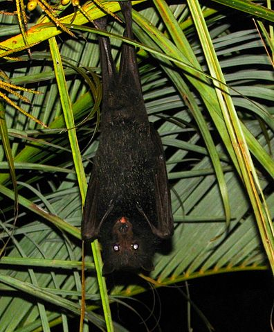 El zorro volador negro, 'Pteropus alecto'. Imagen de Wikipedia.