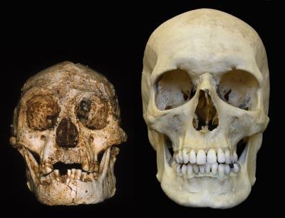 Cráneos de 'Homo floresiensis' (izquierda) y 'Homo sapiens'. Imagen de Peter Brown.