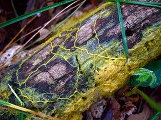 ¿Qué diablos es eso? El moho mucilaginoso 'Physarum polycephalum'. Imagen de Wikipedia.
