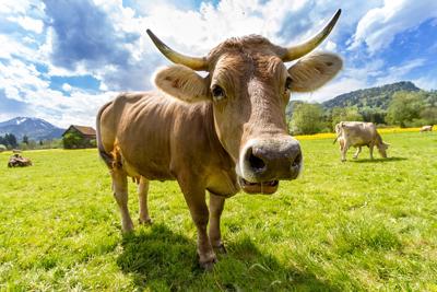 Eso, una vaca. Imagen de dominio público / Pixabay.