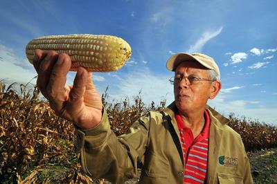 """¿Maíz transgénico? No: Quality Protein Maize (QPM), un mutante inducido """"biofortificado"""". Al ser una variedad creada por mutagénesis, no le afecta la regulación sobre transgénicos. Imagen de Neil Palmer (CIAT) / Flickr / CC."""